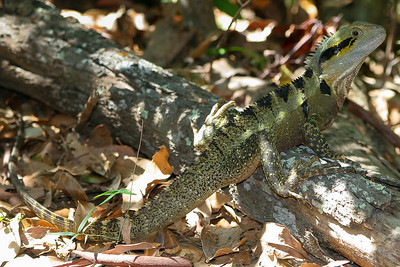 Eastern Water Dragon (Physignathus lesueurii lesueurii) - Burleigh Headlands, Gold Coast, Queensland, Australia