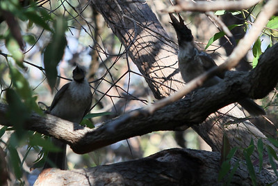 Noisy Friarbird (Philemon corniculatus) with breakfast bug - Noosa National Park, Monday 2 November 2009