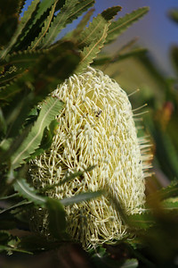 Banksia flower catches the early morning sun - Noosa National Park, Monday 2 November 2009