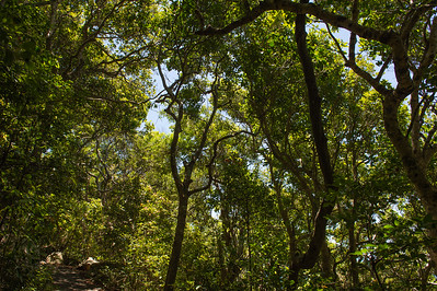 Looking Up - Burleigh Heads National Park, Gold Coast - Flowers and Plants; 16 January 2015. Photos by Des Thureson - http://disci.smugmug.com.
