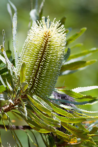 Banksia Flower - Banksias, Birds & Nature - Bribie Island, Sunshine Coast, Queensland; 3 March 2011. Photos by Des Thureson