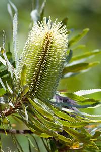 Banksia Flower - Banksias, Birds & Nature - Bribie Island, Sunshine Coast, Queensland; 3 March 2011. Photos by Des Thureson