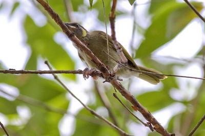 Lewin's Honeyeater (Meliphaga lewinii) - Banksias, Birds & Nature - Bribie Island, Sunshine Coast, Queensland; 3 March 2011. Photos by Des Thureson
