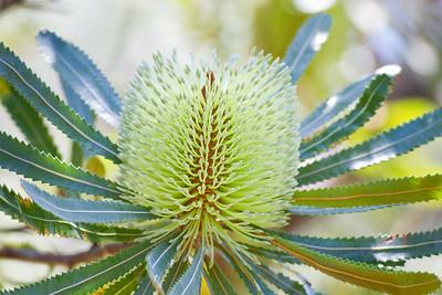 Banksias, Birds & Nature - Bribie Island, Sunshine Coast, Queensland; 3 March 2010. Photos by Des Thureson