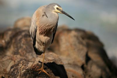 Banksias, Birds, & Surfers (including one VERY contented White-faced Heron) - Noosa National Park. Photos by Des Thureson:  http://disci.smugmug.com