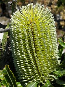 Banksia Flower, Proteaceae family; Noosa National Park, Noosa Heads, Sunshine Coast, Queensland, Australia; 11 August 2009.