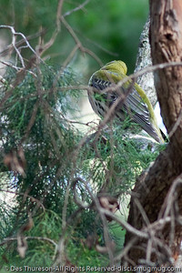 Possibly an Olive Backed Oriole (Oriolus sagittatus) - Birds & Bays: Beautiful Noosa National Park, Sunshine Coast, Queensland, Australia; Tuesday 29 June 2010.