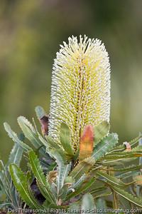 Banksia flower (Proteaceae family) - Birds & Bays: Beautiful Noosa National Park, Sunshine Coast, Queensland, Australia; Tuesday 29 June 2010.