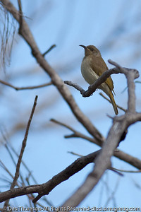 Brown Honeyeater (Lichmera indistincta) - Birds & Bays: Beautiful Noosa National Park, Sunshine Coast, Queensland, Australia; Tuesday 29 June 2010. - Bird call: http://www.birdsinbackyards.net/species/Lichmera-indistincta