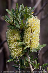 Banksia flower (Proteaceae family) - Birds & Bays: Beautiful Noosa National Park, Sunshine Coast, Queensland, Australia; Tuesday 29 June 2010.