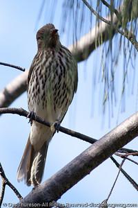 Female Figbird (Sphecotheres viridis) (Australasian Figbird) - Birds & Bays: Beautiful Noosa National Park, Sunshine Coast, Queensland, Australia; Tuesday 29 June 2010.