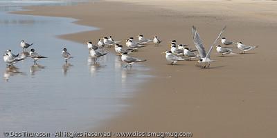 Currumbin Beach, Gold Coast, Queensland, Australia, June 2010.  - Terns