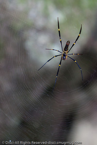 Beautiful Burleigh, Tallebudgera & Currumbin in Winter, 22 June 2010. I liked the blue & yellow elements in this spider.