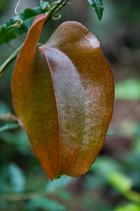 Leaf - Smilax rainforest vine - Burleigh Heads National Park, Gold Coast - Flowers and Plants; 29 December 2015. Photos by Des Thureson - http://disci.smugmug.com.