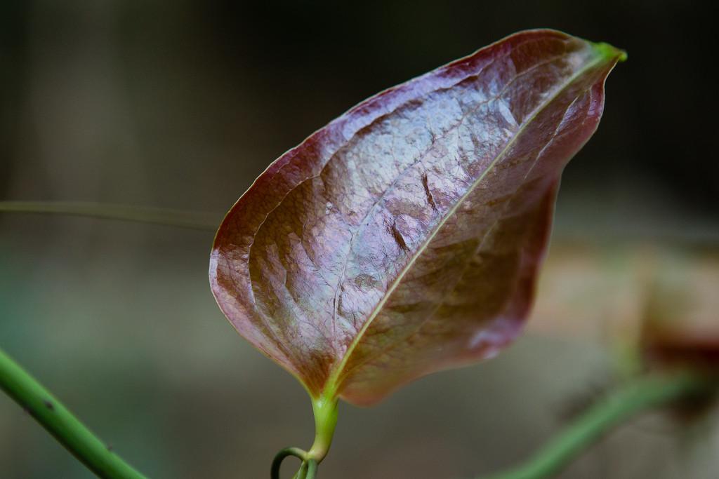 "Leaf - Smilax rainforest vine - Burleigh Heads National Park, Gold Coast - Flowers and Plants; 29 December 2015. Photos by Des Thureson - <a href=""http://disci.smugmug.com"">http://disci.smugmug.com</a>."