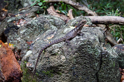 Eastern Water Dragon, Physignathus lesueurii lesueurii - Burleigh Heads National Park, Gold Coast - Flowers and Plants; 29 December 2015. Photos by Des Thureson - http://disci.smugmug.com.