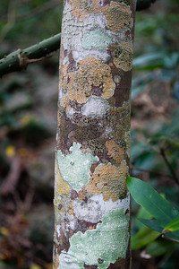 Lichen - Burleigh Heads National Park, Gold Coast - Flowers and Plants; 29 December 2015. Photos by Des Thureson - http://disci.smugmug.com.