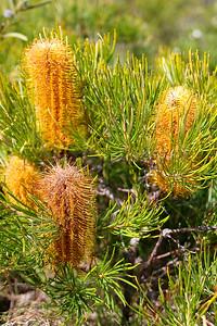 Banksia flowers - Mount Coolum, 15 September 2008