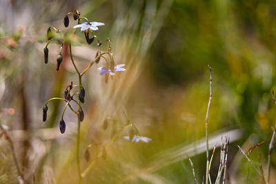 Flax Lilly, probably Dianella revoluta -  Birds & Flowers of Kathleen McArthur Conservation Park (Currimundi Lake Conservation Park), Wurtulla, Sunshine Coast, Queensland, Australia; Thursday 23 October 2014. Photos by Des Thureson - http://disci.smugmug.com - Camera 1 (telephoto)