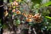 "The fruits of Hop Bush, Dodonea triquetra - Birds & Flowers of Kathleen McArthur Conservation Park (Currimundi Lake Conservation Park), Wurtulla, Sunshine Coast, Queensland, Australia; Thursday 23 October 2014. Photos by Des Thureson - <a href=""http://disci.smugmug.com"">http://disci.smugmug.com</a>. Camera 2: wider angle."