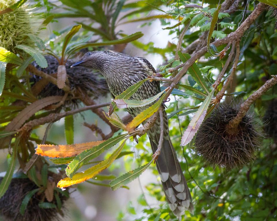 """Little Wattlebird (Anthochaera chrysoptera) - Noosa National Park, Noosa Heads, Sunshine Coast, Queensland, Australia. Friday 26 February 2016. Photos by Des Thureson - <a href=""""http://disci.smugmug.com"""">http://disci.smugmug.com</a>."""