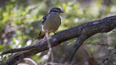 Possibly a Varied Triller (Lalage leucomela)? - Noosa National Park, Noosa Heads, Sunshine Coast, Queensland, Australia. Friday 26 February 2016. Photos by Des Thureson - http://disci.smugmug.com.