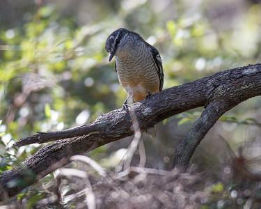 Possibly a Varied Triller (Lalage leucomela)? - Noosa National Park, Noosa Heads, Sunshine Coast, Queensland, Australia. Friday 26 February 2016. Photos by Des Thureson - http://disci.smugmug.com.