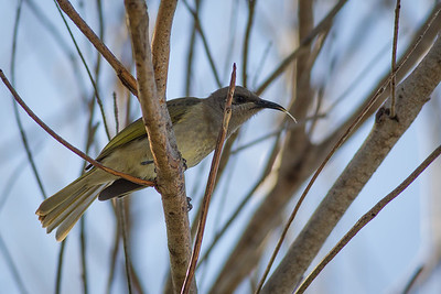 Brown Honeyeater (Lichmera Indistincta) - Noosa National Park, Noosa Heads, Sunshine Coast, Queensland, Australia. Friday 26 February 2016. Photos by Des Thureson - http://disci.smugmug.com.