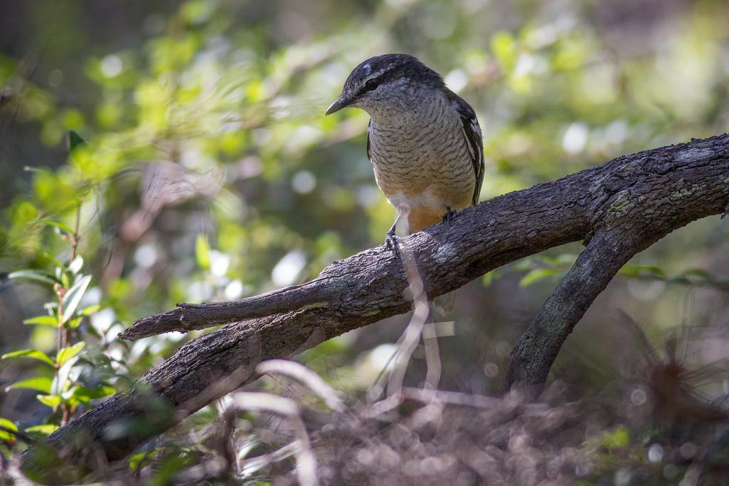 """Possibly a Varied Triller (Lalage leucomela)? - Noosa National Park, Noosa Heads, Sunshine Coast, Queensland, Australia. Friday 26 February 2016. Photos by Des Thureson - <a href=""""http://disci.smugmug.com"""">http://disci.smugmug.com</a>."""