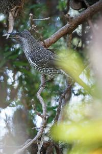 Little Wattlebird (Anthochaera chrysoptera) - Noosa National Park, Noosa Heads, Sunshine Coast, Queensland, Australia. Friday 26 February 2016. Photos by Des Thureson - http://disci.smugmug.com.