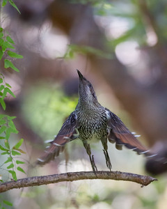 Little Wattlebird (Anthochaera chrysoptera) - Noosa National Park, Noosa Heads, Sunshine Coast, Queensland, Australia. Friday 26 February 2016. Photos by Des Thureson - http://disci.smugmug.com.