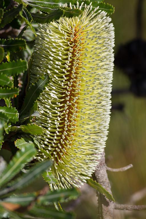 "Wallum Banksia, Banksia aemula - Noosa National Park, Noosa Heads, Sunshine Coast, Queensland, Australia. Friday 26 February 2016. Photos by Des Thureson - <a href=""http://disci.smugmug.com"">http://disci.smugmug.com</a>."