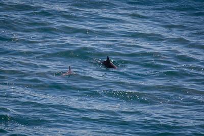 Dolphins - Noosa National Park, Noosa Heads, Sunshine Coast, Queensland, Australia. Friday 26 February 2016. Photos by Des Thureson - http://disci.smugmug.com.