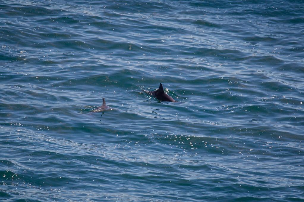 "Dolphins - Noosa National Park, Noosa Heads, Sunshine Coast, Queensland, Australia. Friday 26 February 2016. Photos by Des Thureson - <a href=""http://disci.smugmug.com"">http://disci.smugmug.com</a>."