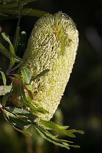 Wallum Banksia, Banksia aemula - Noosa National Park, Noosa Heads, Sunshine Coast, Queensland, Australia. Friday 26 February 2016. Photos by Des Thureson - http://disci.smugmug.com.