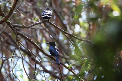 Spangled Drongo (Dicrurus bracteatus) - Noosa National Park, Sunshine Coast, Queensland, Australia; 06 November 2012. Photos by Des Thureson - disci.smugmug.com