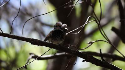 Rufous Fantail (Rhipidura rufifrons) - Noosa National Park, Sunshine Coast, Queensland, Australia; 06 November 2012. Photos by Des Thureson - disci.smugmug.com