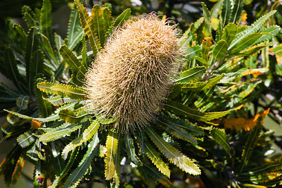 Wallum Banksia (Banksia aemula) - Noosa National Park, Sunshine Coast, Queensland, Australia; 06 November 2012. Photos by Des Thureson - disci.smugmug.com