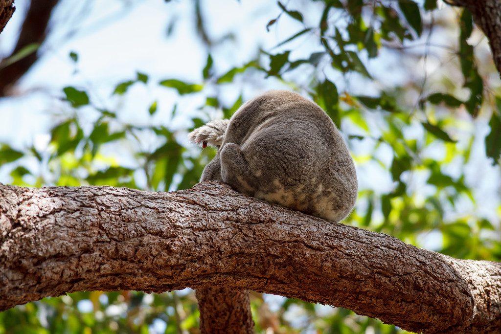 Koala (Phascolarctos cinereus) - Noosa National Park, Sunshine Coast, Queensland, Australia; 06 November 2012. Photos by Des Thureson - disci.smugmug.com