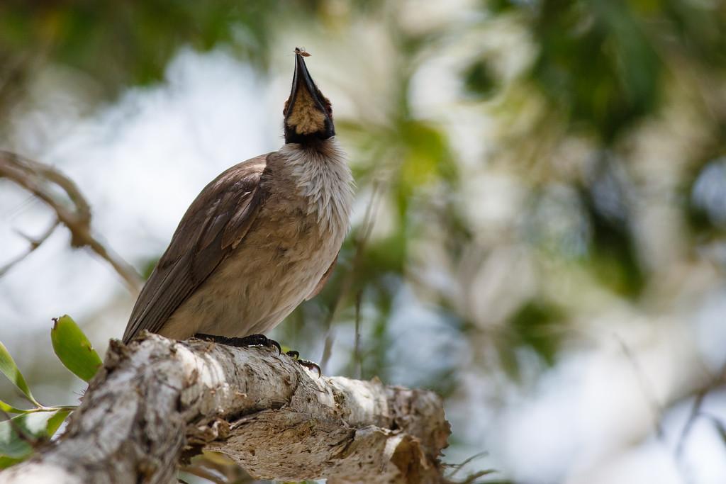 Noisy Friarbird (Philemon corniculatus) with Morning Tea in its beak - Noosa National Park, Sunshine Coast, Queensland, Australia; 06 November 2012. Photos by Des Thureson - disci.smugmug.com