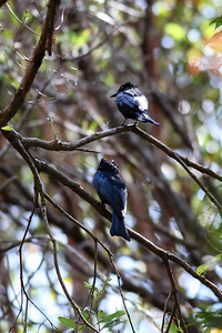 Spangled Drongo (Dicrurus bracteatus) - Noosa National Park, Sunshine Coast, Queensland, Australia; 06 November 2012. Photos by Des Thureson - disci.smugmug.com