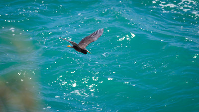 Eastern Reef Egret (Dark Morph) (Egretta sacra) - Coastal Coolum and Birds in Noosa National Park; Coolum & Noosa, Sunshine Coast, Queensland, Australia; 06 November 2012. Photos by Des Thureson