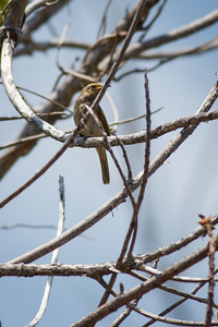 Brown Honeyeater (Lichmera indistincta) - Noosa National Park, Sunshine Coast, Queensland, Australia; 06 November 2012. Photos by Des Thureson - disci.smugmug.com