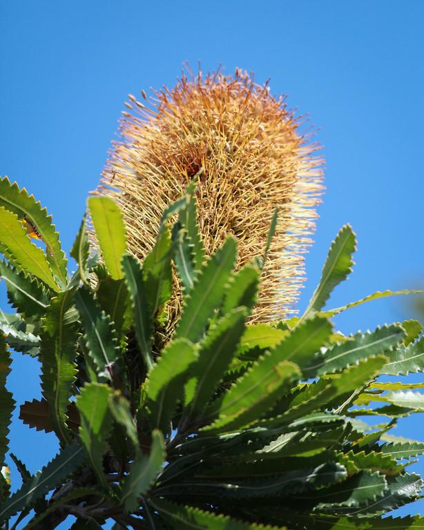 Wallum Banksia (Banksia aemula) - Noosa National Park, Sunshine Coast, Queensland, Australia; 06 November 2012. Photos by Des Thureson - disci.smugmug.com