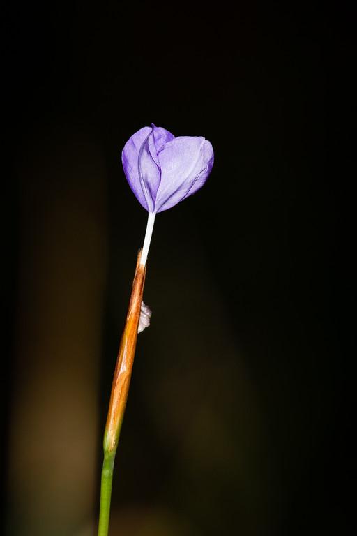Perhaps a Native Iris, either Patersonia glabrata or Patersonia fragilis - Flowers & Birds - Noosa National Park, Sunshine Coast, Queensland, Australia; Monday 29 July 2013 (Day 4). Photos by des Thureson - disci.smugmug.com