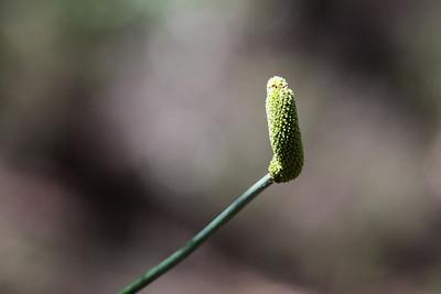 Grass Tree (Genus: Xanthorrhoea) (Family: Xanthorrhoeaceae) - Noosa National Park, Sunshine Coast, Queensland, Australia; 06 November 2012. Photos by Des Thureson - disci.smugmug.com