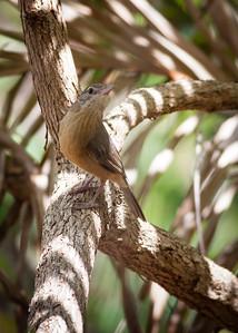 Little Shrike Thrush (Colluricincla megarhyncha) -  Noosa National Park; Sunshine Coast, Queensland, Australia; 06 November 2012. Photos by Des Thureson