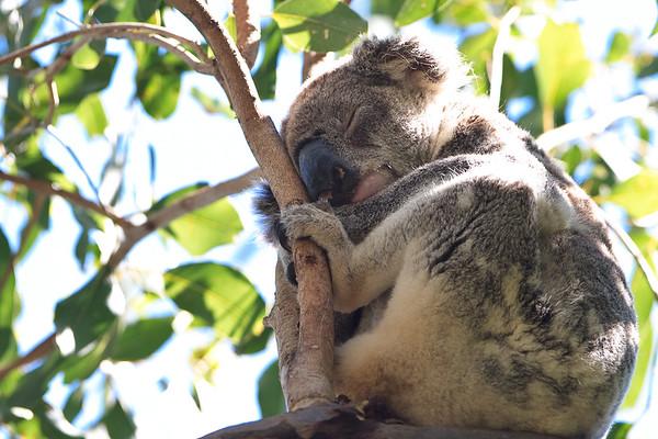 A typically sleepy Koala (Phascolarctos cinereus) - Early morning walk through Noosa National Park; Noosa Heads, Sunshine Coast, Queensland, Australia; Tuesday 2 November 2010.