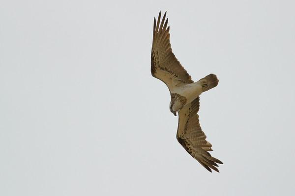 """Osprey (Pandion haliaetus) - Birds at Alexandria Bay, Noosa National Park, Noosa Heads, Sunshine Coast, Queensland, Australia; 29 March 2011. Photos by Des Thureson:  <a href=""""http://disci.smugmug.com"""">http://disci.smugmug.com</a>."""