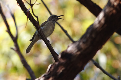 Brown Honeyeater (Lichmera indistincta) - Early morning walk through Noosa National Park; Noosa Heads, Sunshine Coast, Queensland, Australia; Tuesday 2 November 2010.